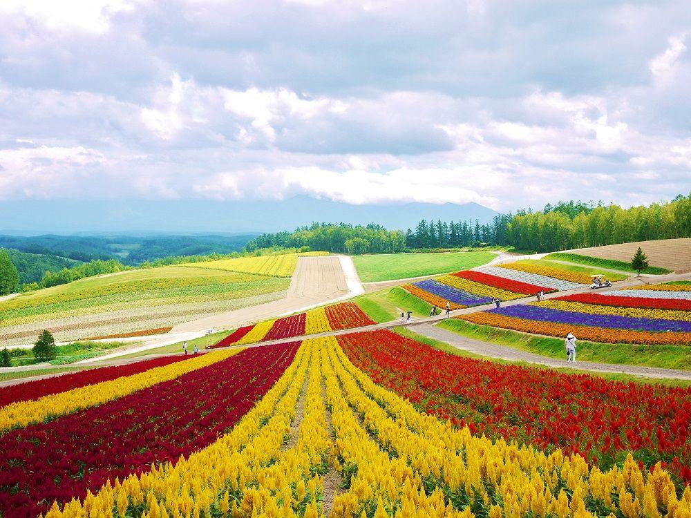 美しい虹色お花畑を鑑賞!北海道美瑛「四季彩の丘」の歩き方