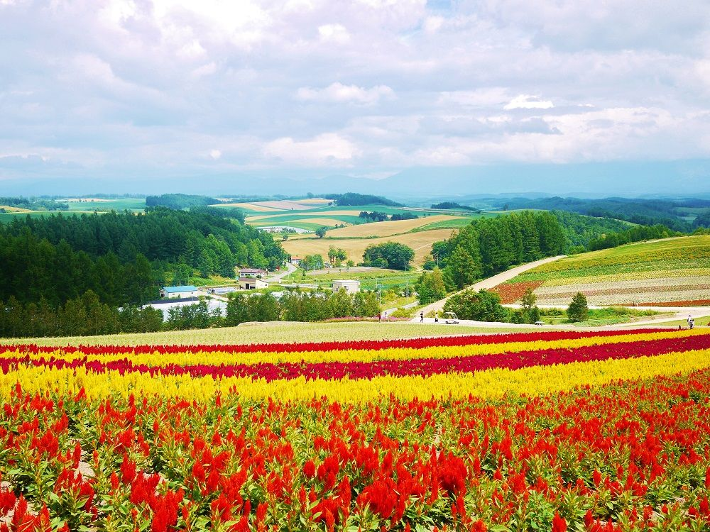 美瑛に広がる丘陵地帯&絶景お花畑が楽しめる「四季彩の丘」