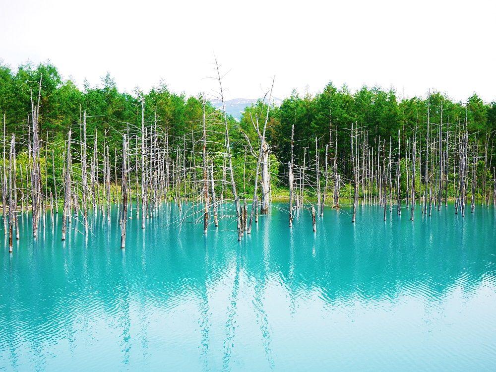 美瑛の神秘的観光スポット!白金「青い池」