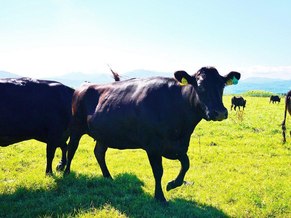 「八雲町乳牛育成牧場」に到着するとかわいい牛さんがお出迎え