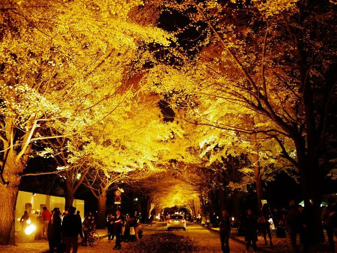 北海道大学イチョウ並木のライトアップイベント