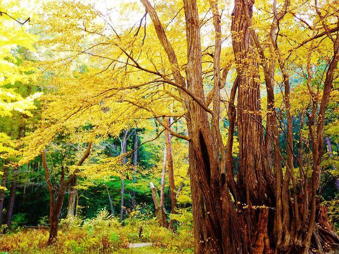 「円山原生林」にたたずむ紅葉の巨木達に会いに行こう!