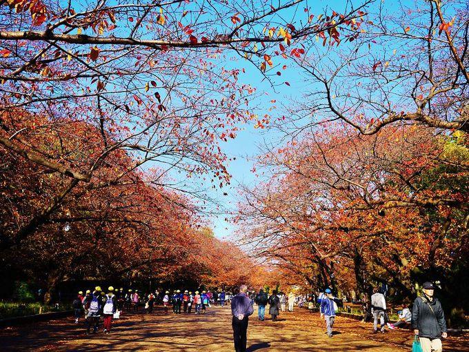赤に染まる秋の「上野恩賜公園」桜並木を歩こう!