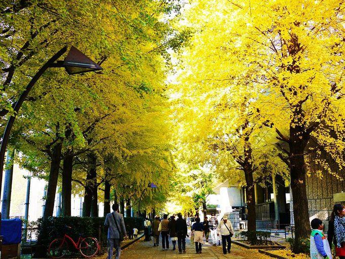 黄金に染まる秋景色!紅葉の「上野恩賜公園」イチョウ並木