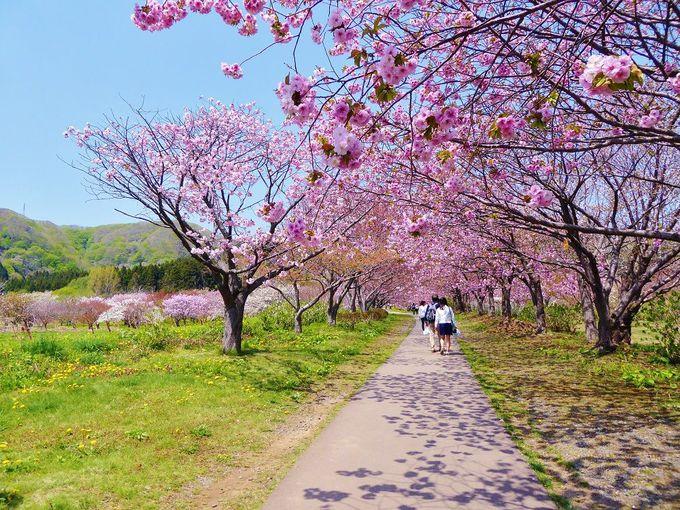 桜のトンネル続く「松前町第二公園」を歩く