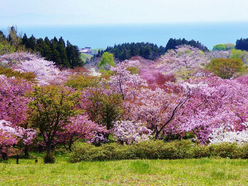 松前城とセットで訪れたい!松前町第二公園で眺める桜の海