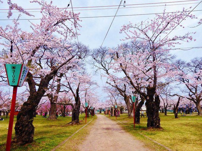 桜色の青葉ヶ丘公園で「もりまち桜まつり」を楽しむ