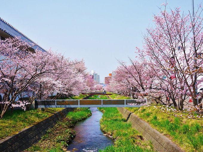 「寒地土木研究所」の千島桜並木は見ごろ限定開放!