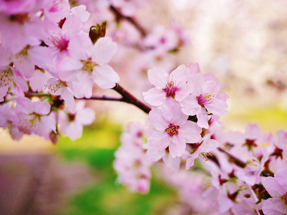 北国の春を彩る可憐な千島桜