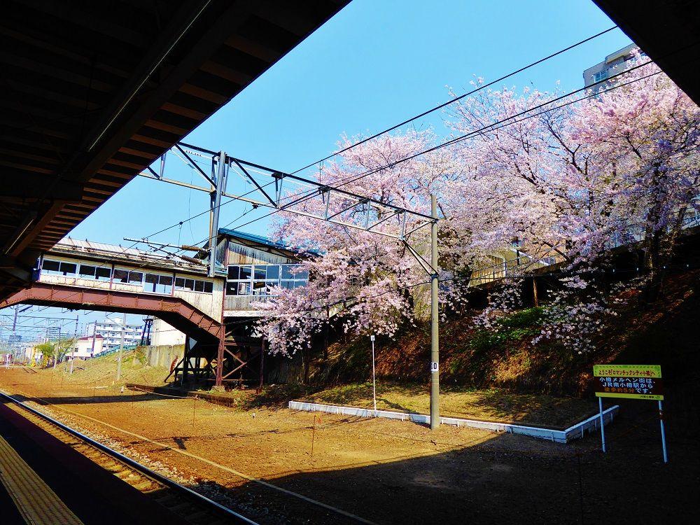 桜咲く春の小樽観光はJR南小樽駅で途中下車してお花見を!