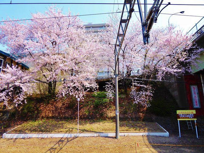 桜色のシャワーが降り注ぐ2つの駅