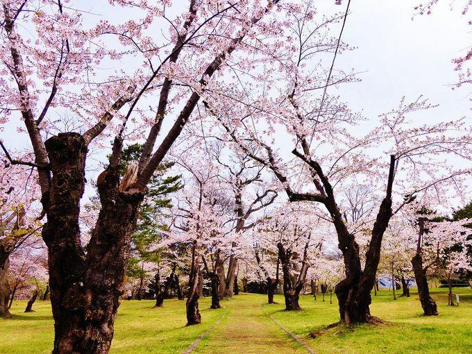 歴史ある美しき千本桜「青葉ヶ丘公園」