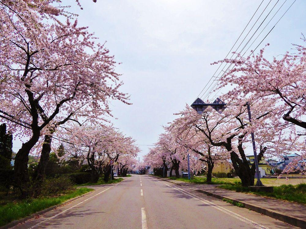 春色に染まる桜並木をドライブ!「微笑み桜通り」