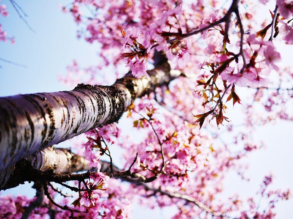 北海道を代表する桜「エゾヤマザクラ」