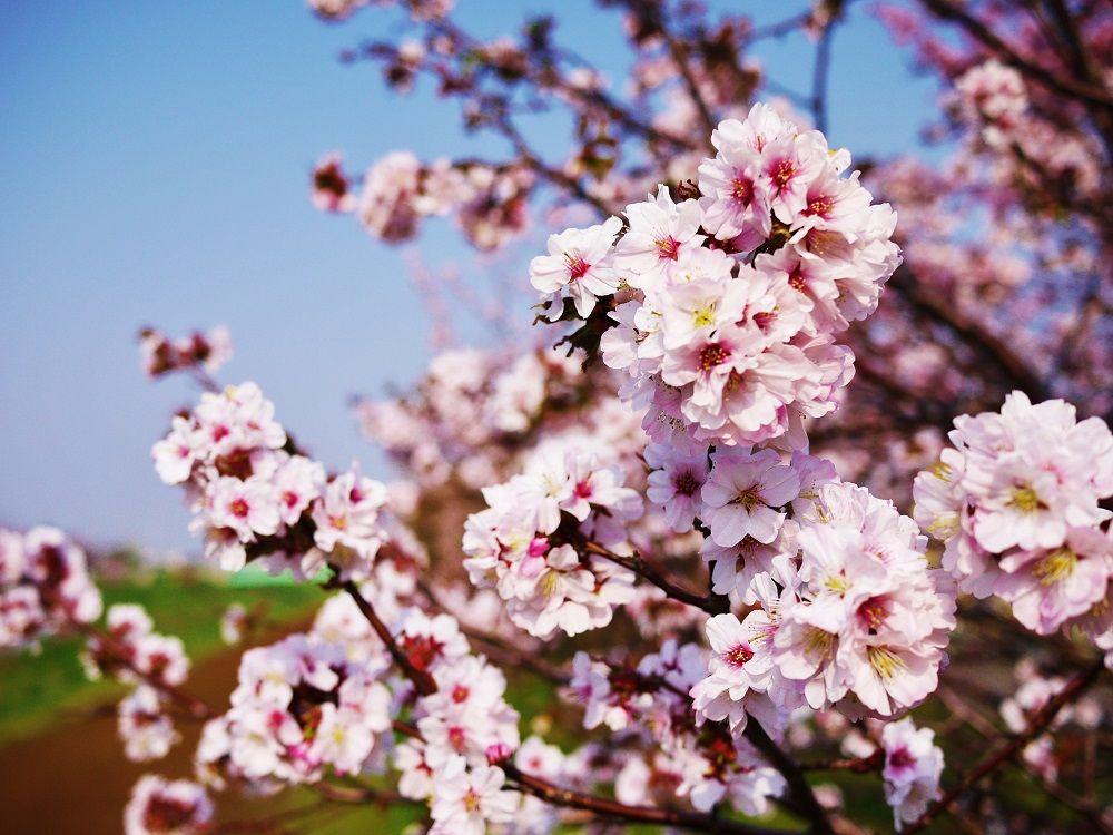 北国の春を彩る可憐な桜「チシマザクラ」