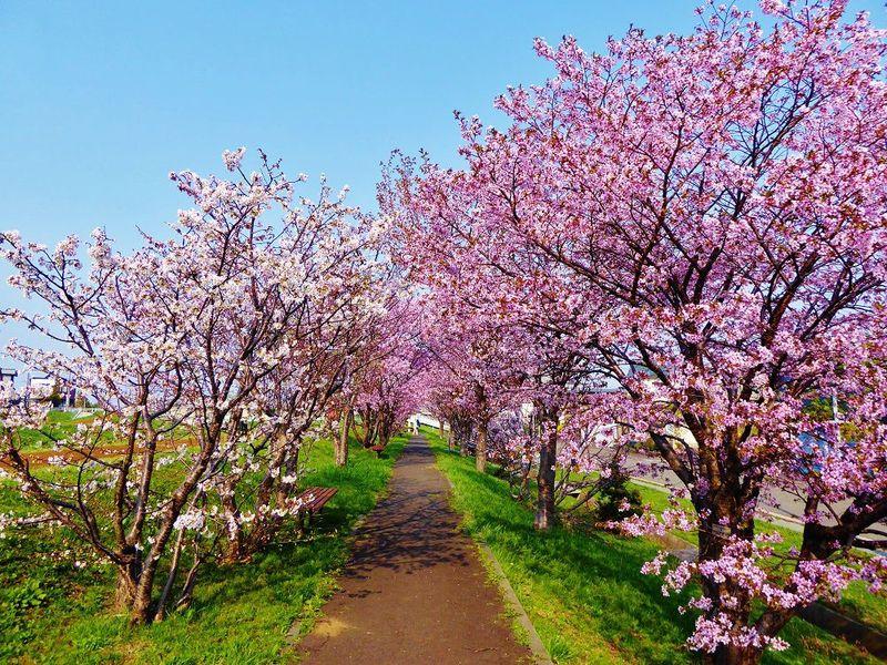 春色の河川敷でお花見散歩!札幌市手稲区「軽川桜づつみ」