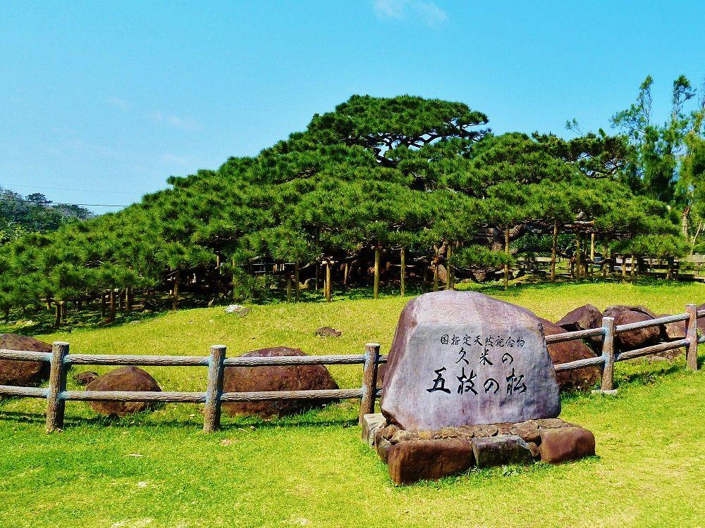 250平方メートルの大きさ!国指定天然記念物「五枝の松」