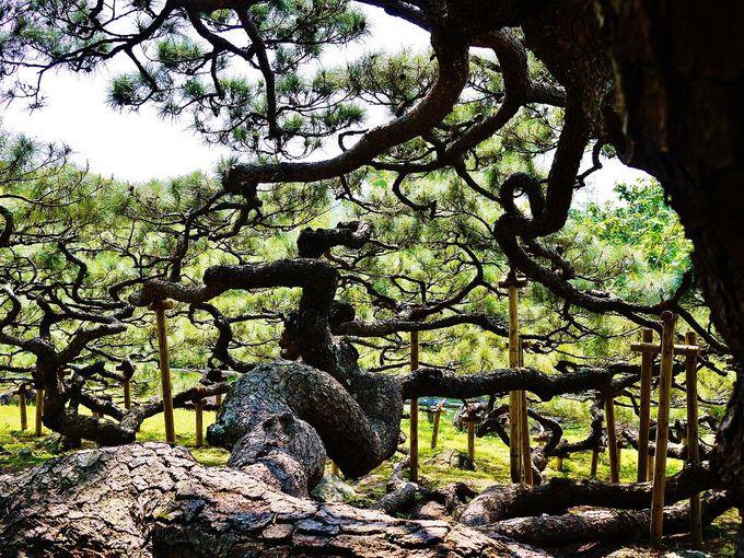 波打つように美しい枝振りを樹の真下から眺めよう!