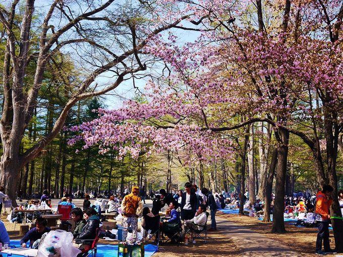 札幌っ子のお花見といえばココ!「円山公園」