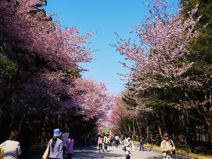 桜と梅が美しいお花見の名所「北海道神宮」