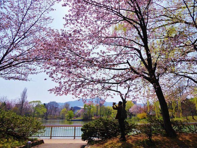 都心のオアシス「中島公園」の美しき桜色の春