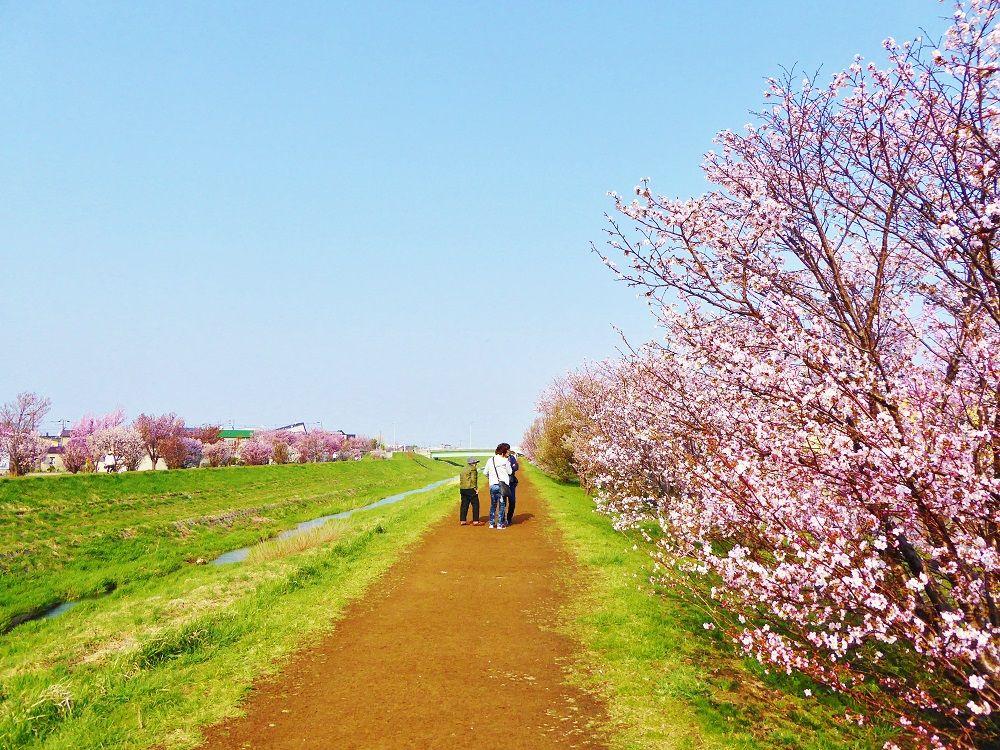 手稲区を流れる軽川の河川敷に広がる桜並木「軽川桜づつみ」