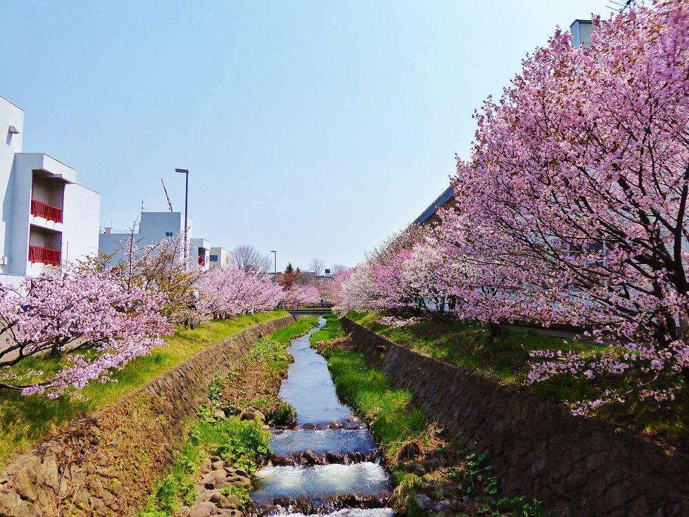 開花時限定開放の美しい千島桜並木「寒地土木研究所」