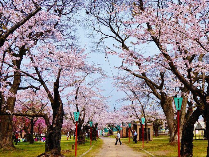 北の千本桜!森町「青葉ヶ丘公園」
