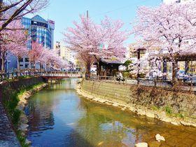 桜美しき都心のオアシス!札幌市中心部を流れる「鴨々川」
