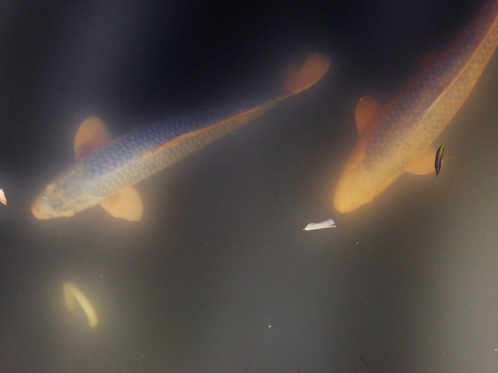 「鴨々川」を優雅に泳ぐ錦鯉