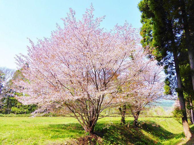 北斗陣屋桜まつりも開催!南北海道を代表する桜の名所