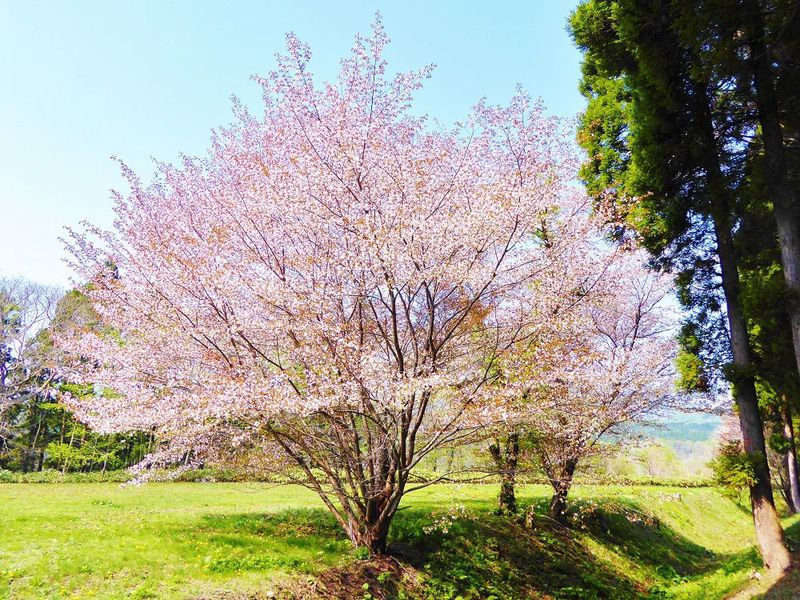 桜も美しい歴史の舞台!北海道北斗市「松前藩戸切地陣屋跡」