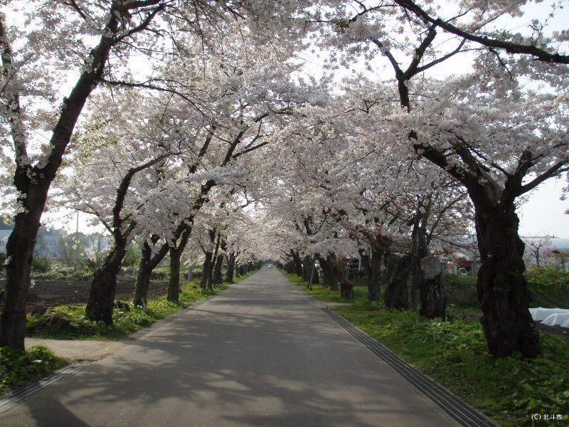 桜のトンネルを通り抜けて「松前藩戸切地陣屋跡」へ行こう!