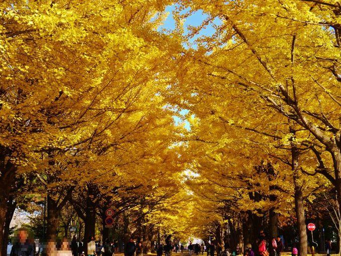 黄金のトンネル「北海道大学イチョウ並木」を歩く
