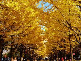 秋限定、美しい黄金のトンネル!「北海道大学イチョウ並木」