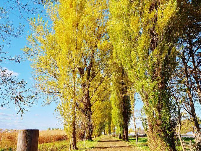 もう1つの有名な並木道「ポプラ並木」へ行こう!