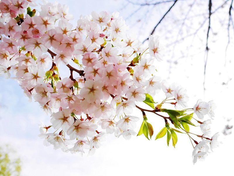 都心のオアシス中島公園に訪れる美しき桜の季節