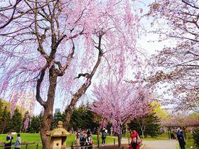 北国の春!GWは桜咲き誇る札幌「中島公園」で駅チカお花見