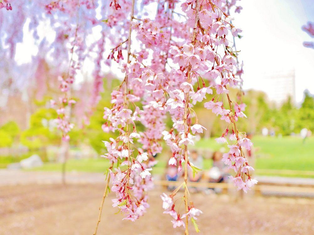 風に揺れる優しいピンク!日本庭園へしだれ桜に会いに行こう