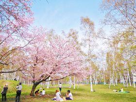 桜とカタクリ咲く札幌の春!北海道立真駒内公園でお花見散歩