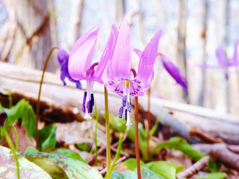 大地に広がるピンクのお花畑!カタクリの群生