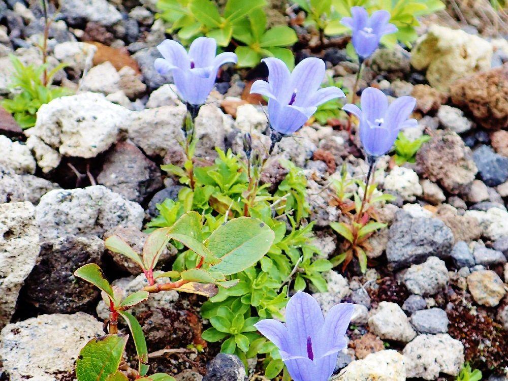 高山植物の可憐な姿に癒される登山道