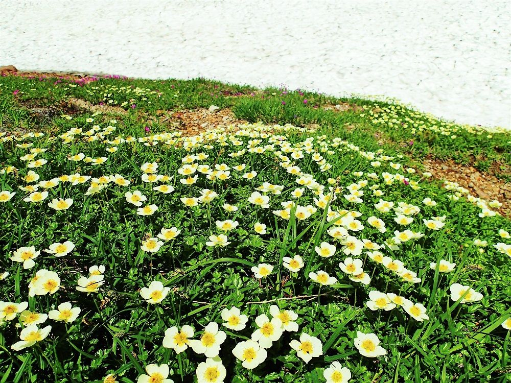 足元に咲く可憐な高山植物にも注目!