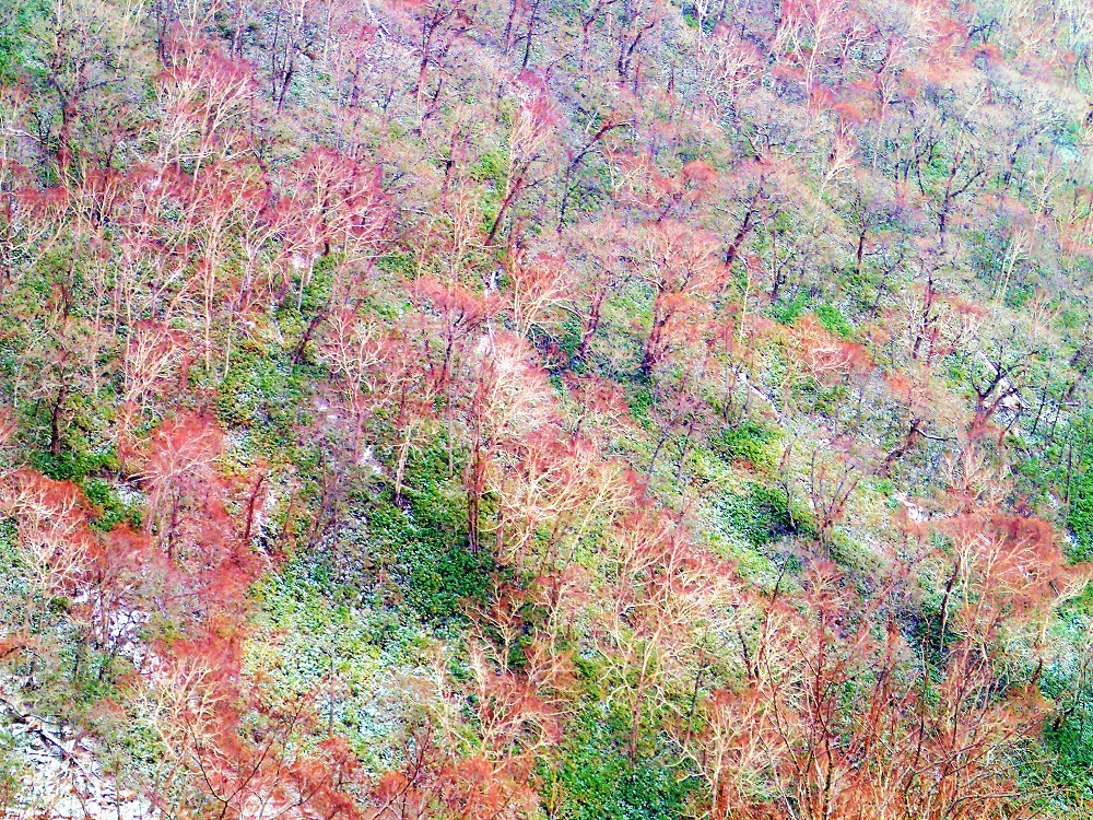笹とダケカンバの森