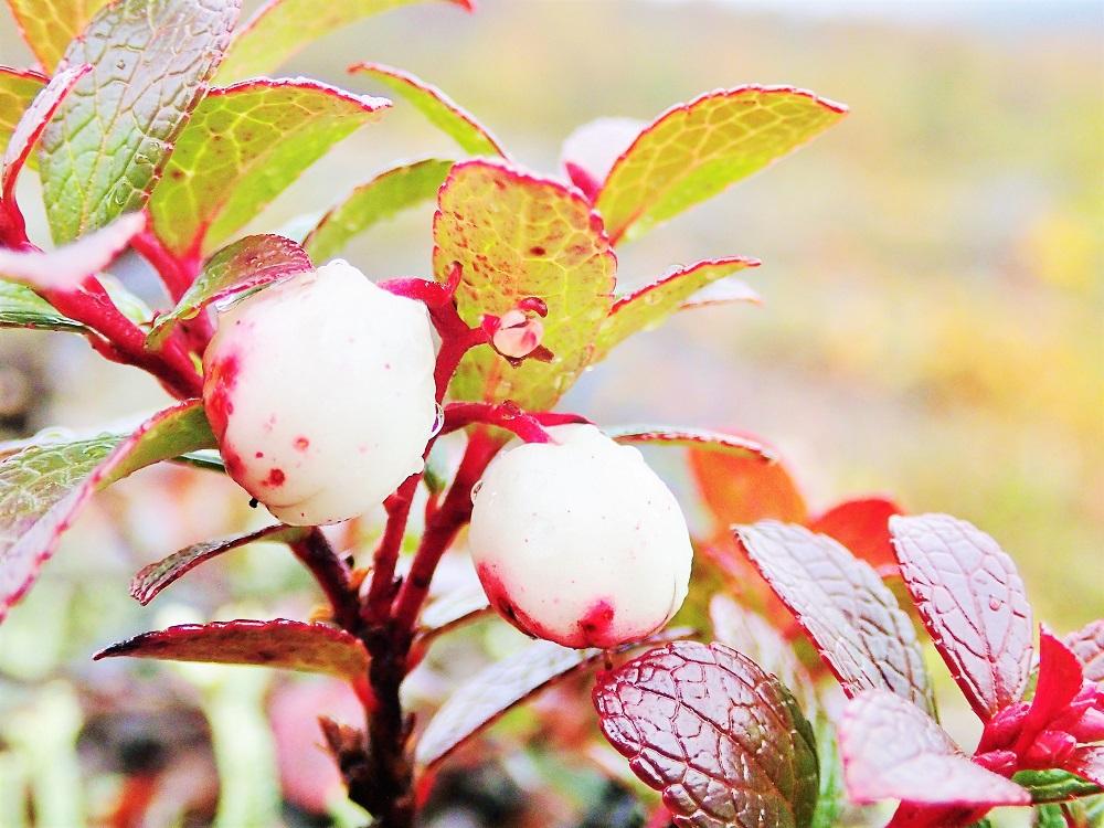 足元に咲く可憐な高山植物もお楽しみ