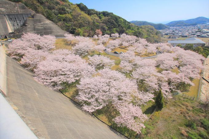 一面が桜に包まれる!地元民憩いのダムでお花見