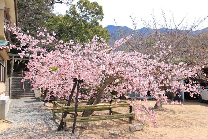 小豆島の固有種「常光寺桜」を愛でよう!