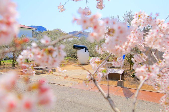 桜とのコラボ景色に癒される!オリーブ&ミモザ