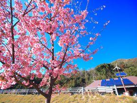 海とアートが美しい小豆島「三都半島」は河津桜が咲く初春がおすすめ