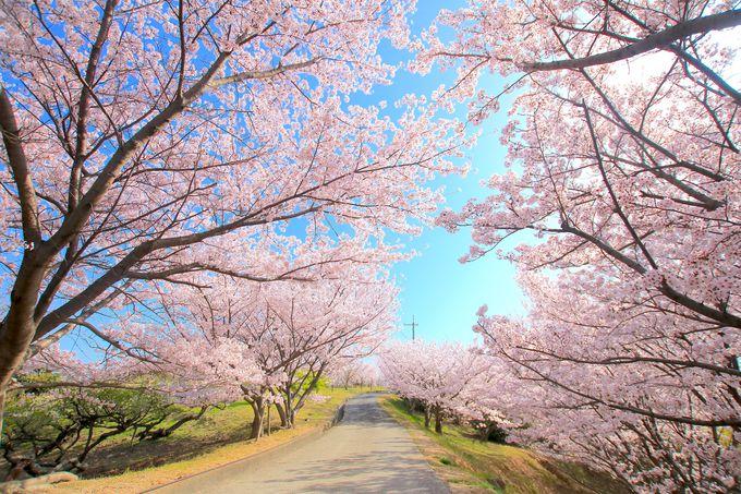 桜と瀬戸内海の美しい競演!絶景の「城山公園」